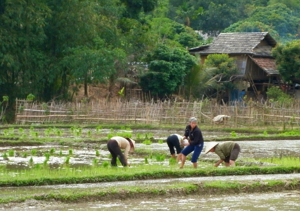 Women planting rice in fields in Mai Chau in Hoa Binh District, a mountainous area in Northwestern Vietnam.
